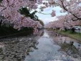 Re-election and Hanami in Hirosaki